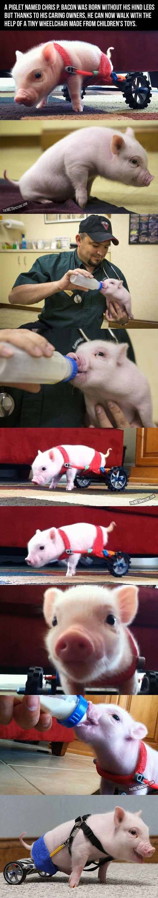 Chris P Bacon Pig on Wheels