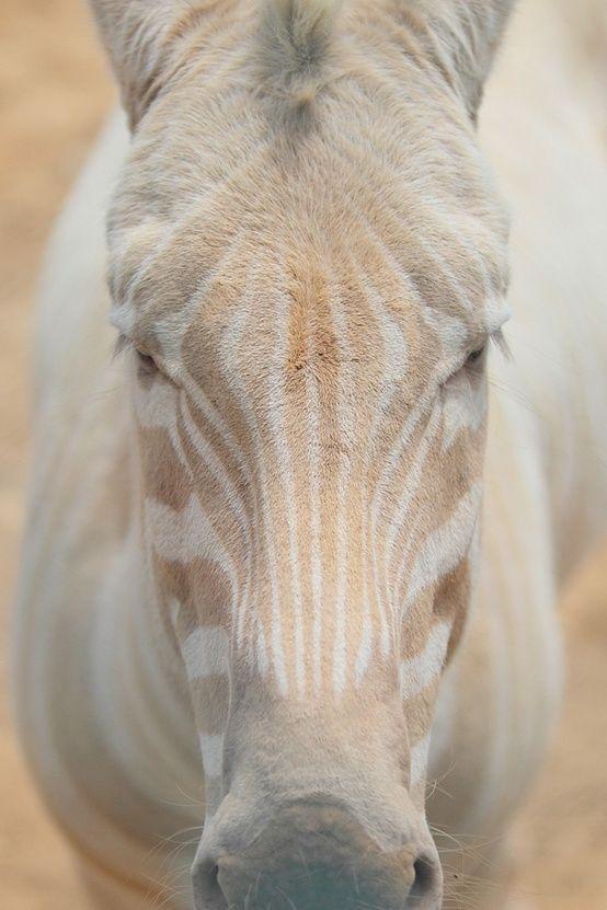 Horse or Zebra