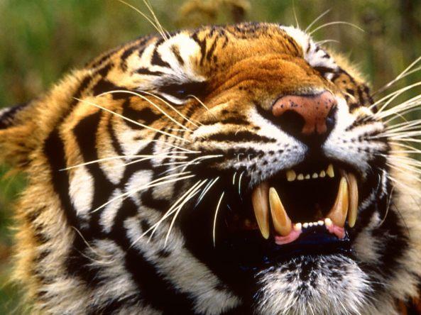 Bengal Tiger, Bangladesh