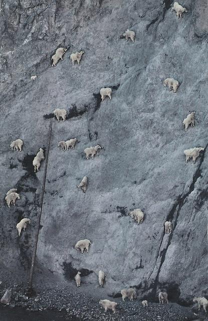 how mountain goats can climb such vertical walls